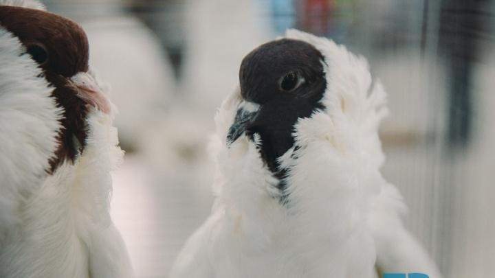 Кудрявые, поющие и гигантские: топ-10 удивительных голубей с тюменской выставки Юрия Неёлова