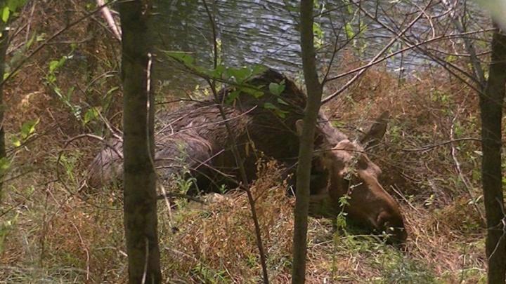 «Малыш из последних сил держался на плаву»: под Самарой спасли тонущего лосенка