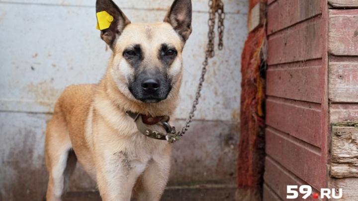 В Прикамье суд решил, что бродячих собак нельзя стерилизовать и выпускать обратно на улицу