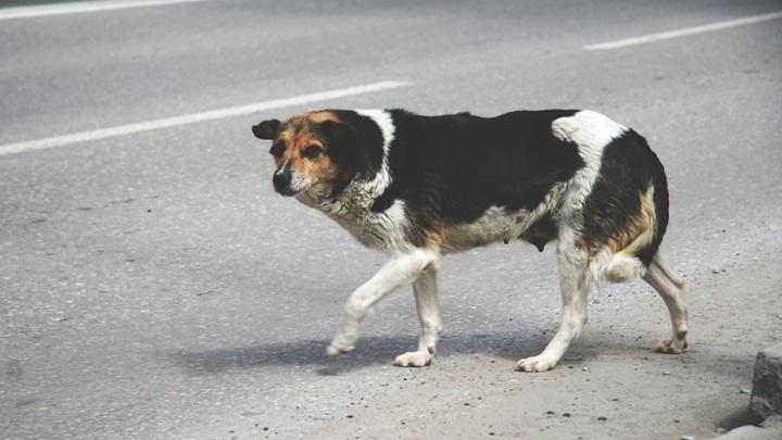 На следующей неделе в Тюмени отловят бездомных животных
