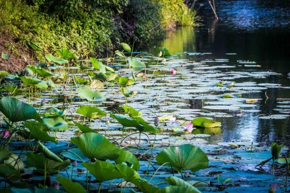 Озеро лотосов должно покрыться розовым цветом к середине августа