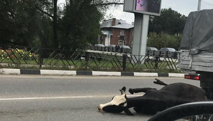 В Ярославской области из машины на асфальт вывалилась корова