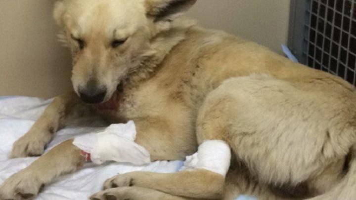 В Волгограде собаку, попавшую в руки живодерам, могут отправить на вторую операцию
