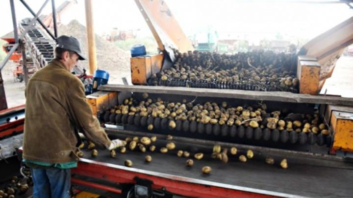 Самарские осужденные собрали 400 тонн собственного урожая картофеля