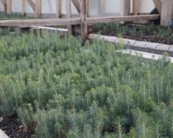 Шалакушский леспромхоз: свои сосны вместо покупных саженцев