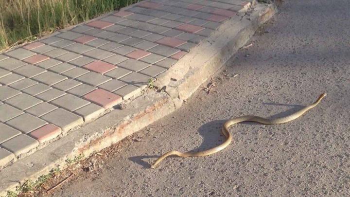 В Ворошиловском районе Волгограда сфотографировали полутораметровую змею