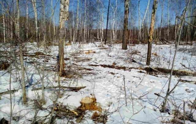 Сельчанину, который срубил 69 берез и четыре осины в тюменском лесу, грозит лишение свободы