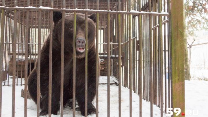 «В лес ему нельзя, сами понимаете»: в Прикамье медведь уже 17 лет живет на территории завода