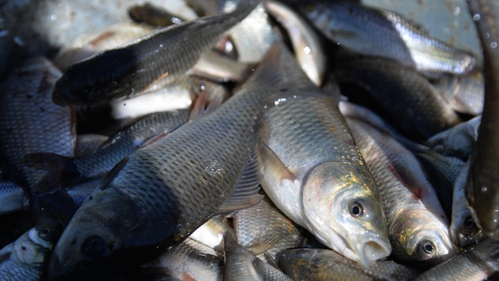 Ростовская АЭС выпустила в Цимлянское водохранилище почти миллион мальков рыбы ценных пород