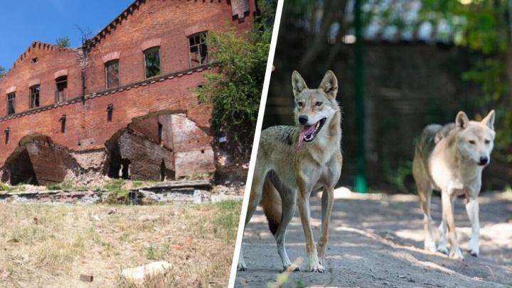 Волчьи страсти, казачий рэп и реконструкция «Парамонов»: хорошие новости Ростова за неделю
