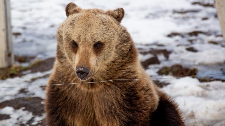 «В магазин-то страшно выйти»: ярославцы бурно отреагировали на напавшего на человека медведя