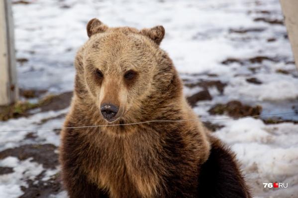 Нападений медведя в Ярославле ещё не бывало