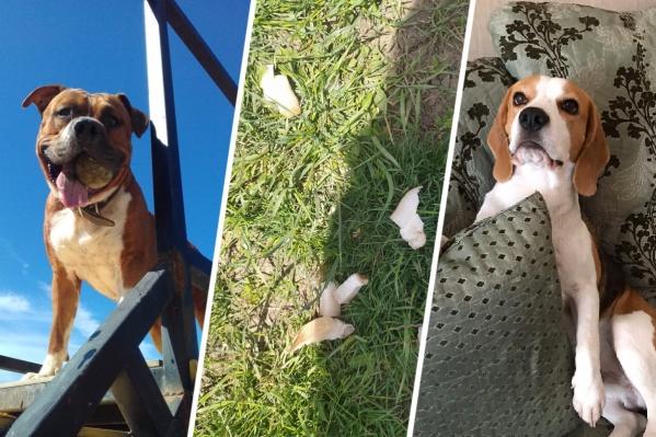 На фото в центре — отравленное мясо со специальными таблетками, которое хозяева собак находят в траве