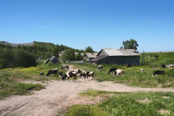 В деревне Лямце мирно пасутся коровы. Масло, которое делают местные жители из молока, активистки оценили на 10 из 10