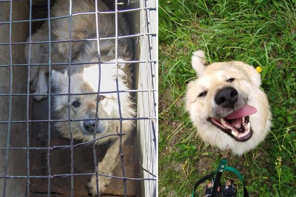 Локи — молодой пёс, который попал в отлов. Собака сильно преобразилась, когда прожила всего месяц в домашней обстановке