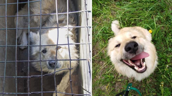 «В такого не влюбиться очень сложно»: пёс угодил в отлов, но его спасли (фото до и после)