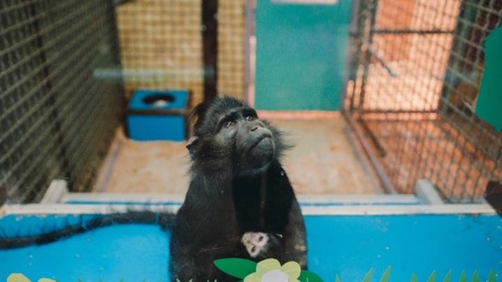 Твентин Карантино или Джэм? Выбираем имя для новорожденной обезьянки из тюменского зоопарка