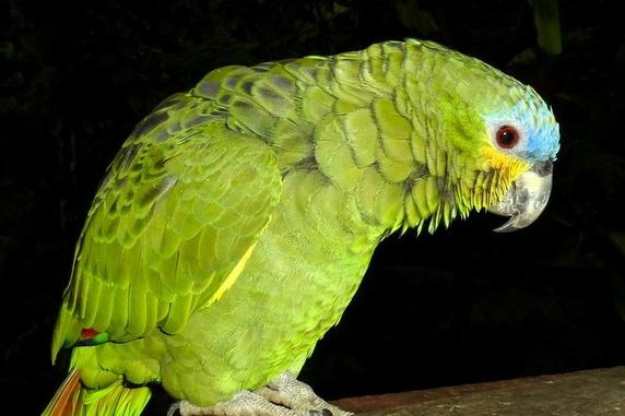 Венесуэльский амазон — крупный попугай, который в неволе может жить до 80 лет