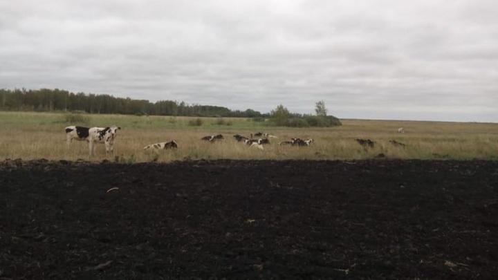 В Крутинском районе полицейские искали сбежавших коров с помощью беспилотника