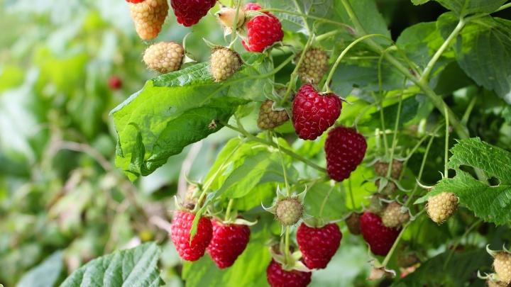 «Заменяет 5–7 кустов обычной малины»: в Челябинск привезли саженцы плодовых новых сортов