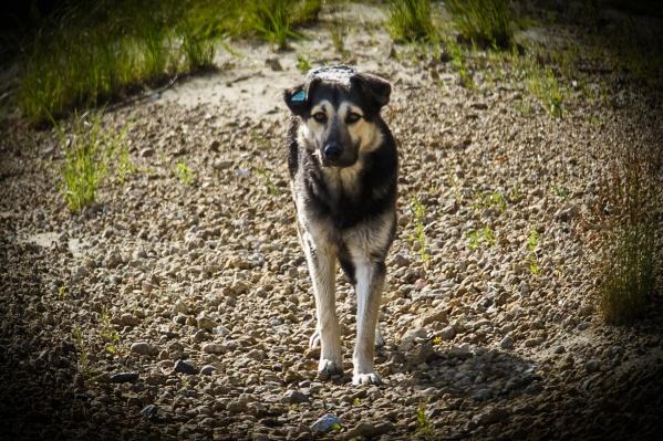 Бирка на ухе собаки говорит о том, что её выпустили из муниципального приюта