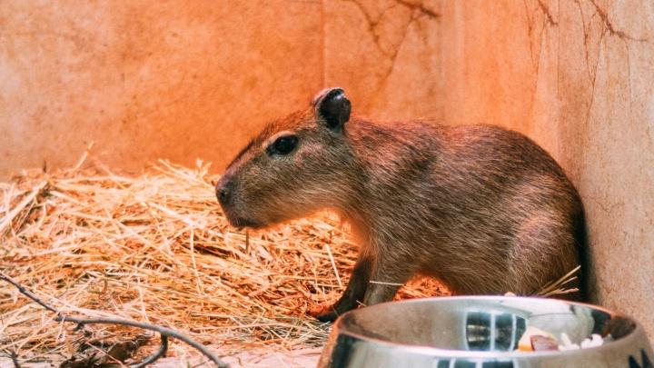 Малыш капибары из омского зоопарка обживает новую клетку и купается в ванне