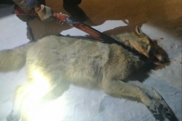 Специалисты департамента природных ресурсов удивились появлению волка в селе
