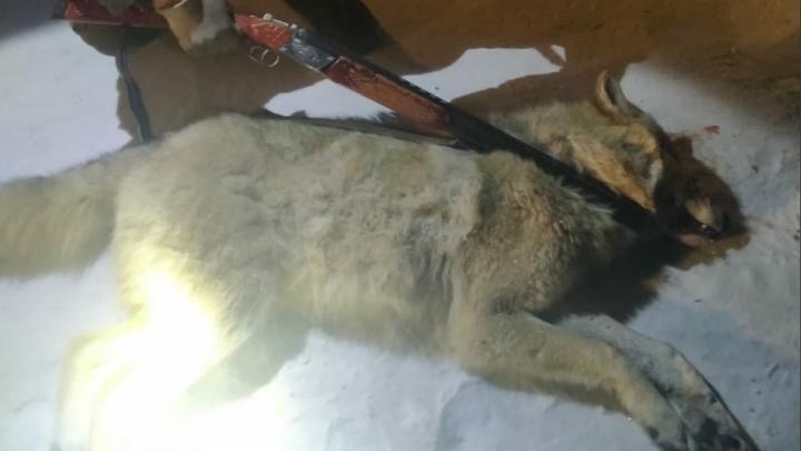 «Ситуация нетипичная»: в село Курганской области забрел волк, его пришлось застрелить