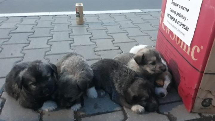 «Они плакали и звали маму»: ярославец приютил выброшенных в коробке пятерых щенят