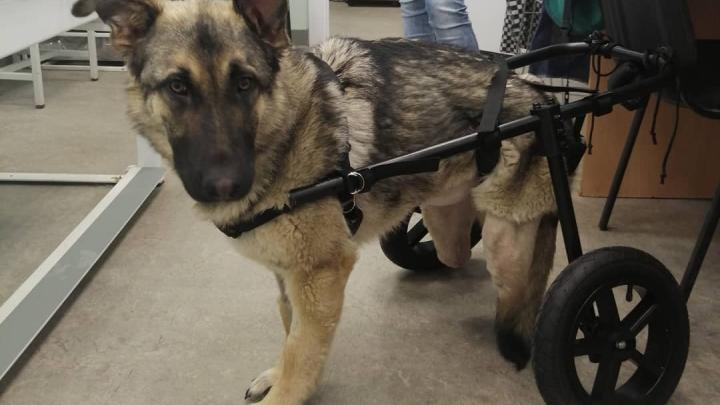 Для собаки, которая осталась без задних лап и без хозяев, сделали коляску и нашли новый дом