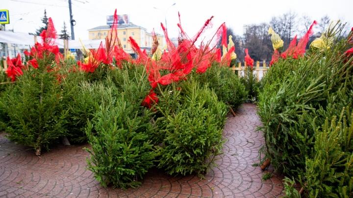В Ярославле открылись елочные базары: адреса и цены