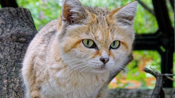 В Новосибирский зоопарк из Франции привезли невесту барханному коту