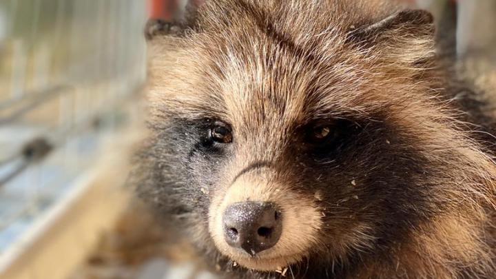 «Мы думали, она не выживет»: в Волгограде волонтеры спасли енотовидную собаку Крошку