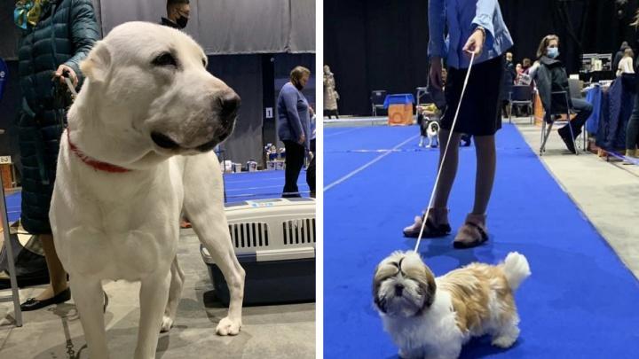 Забыли про коронавирус? Роспотребнадзор проверит организаторов выставки собак в Архангельске