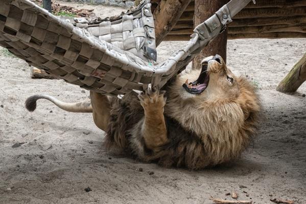 Некоторые звери не только спят в гамаках, но и играют с ними
