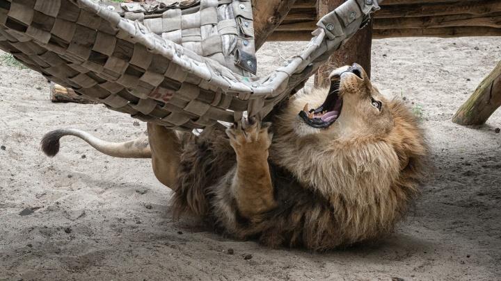 Как дикие кошки расслабляются в гамаках — 5 фото из новосибирского зоопарка, вызывающих зависть
