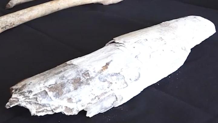 В Уфе при строительстве нового подземного перехода нашли бивень мамонта