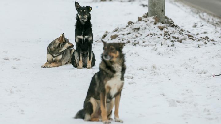 Власти признались в заканчивающемся бюджете на отлов собак, а депутаты призвали забирать их домой