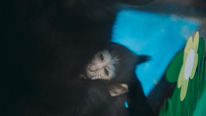 Тюменцы назвали новорожденную мартышку из зоопарка Джэмом (угадайте почему)