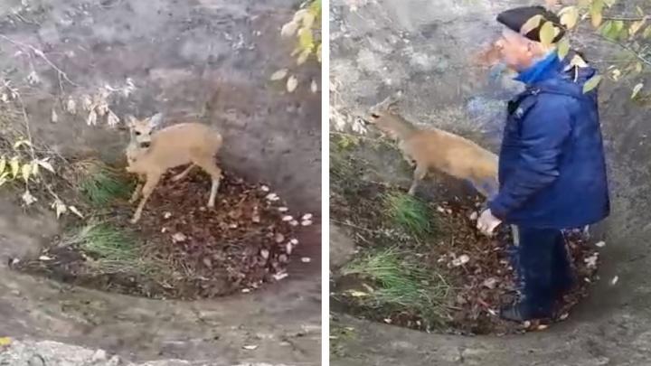 Под Екатеринбургом пожилая пара вызволила маленькую косулю из бетонной ловушки: видео