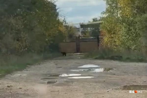 Медведь в Североуральске бродил по дороге и сильно испугал местных жителей