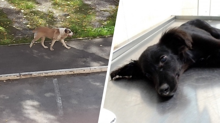 «За день пятерых погрыз»: в Екатеринбурге алабай напал на домашних собак