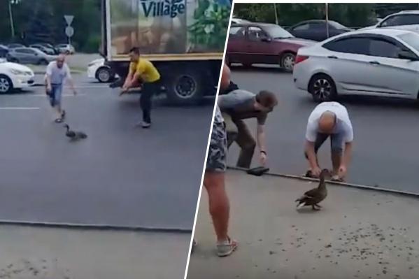 Мужчины приложили все усилия, чтобы утята не попали под колёса