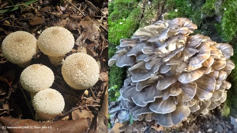 Очень странные на вид грибочки. Но один из них точно можно собирать. Какой?
