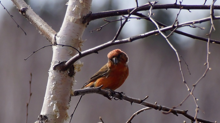 В нацпарке «Шушенский бор» заметили ярких оранжевых птиц. Их называют «Христовыми»