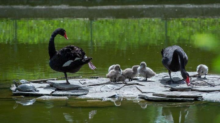 В ростовском зоопарке у черных лебедей появились птенцы