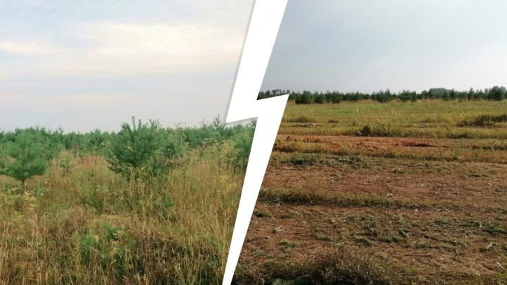 «Природа сделала подарок, а собственникам всё равно». Тюменец — о вырубке молодого леса в Комарово