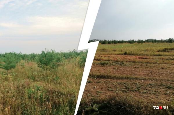 От деревьев остаются щепки, а местные жители недоумевают, почему больше не смогут гулять по молодому лесу