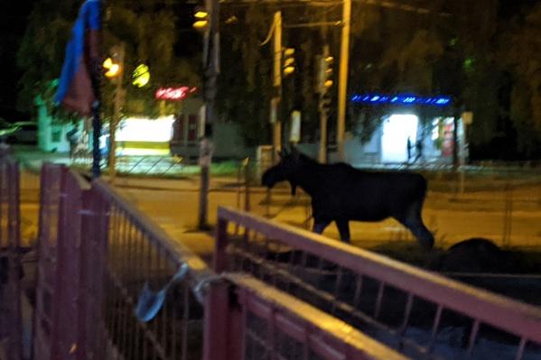 Очередное появление лося в крупном районе Ярославля перепугало людей