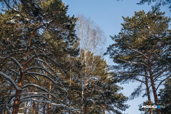 При досмотре лесоматериалов сотрудники Россельхознадзора девять раз находили опасных для деревьев жуков